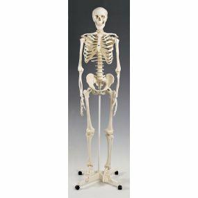 Standard Skeleton - Pelvic Mounted
