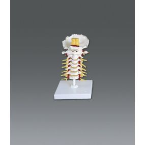 CERVICAL VERTEBRAL COLUMN