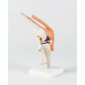 Model - Life Size Knee Joint